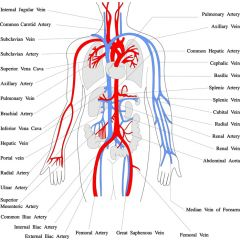 DMGT005e - Overview of the Circulatory System